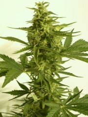 Critical Hog Auto Feminised Seeds-THS-S046-2