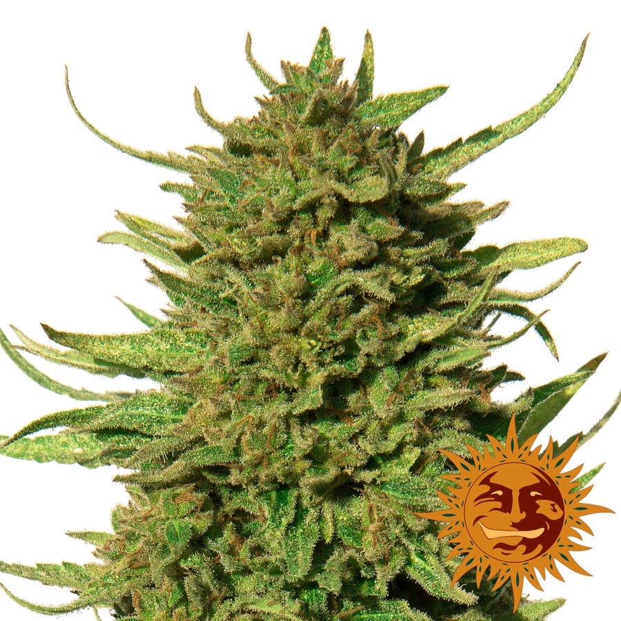 Critical Kush Regular Seeds - 10-BFSCK-Reg-10