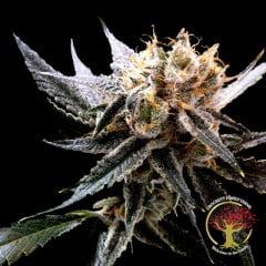 Crockett's Sour Tangie Regular Seeds - 12-DNA-CFF-007