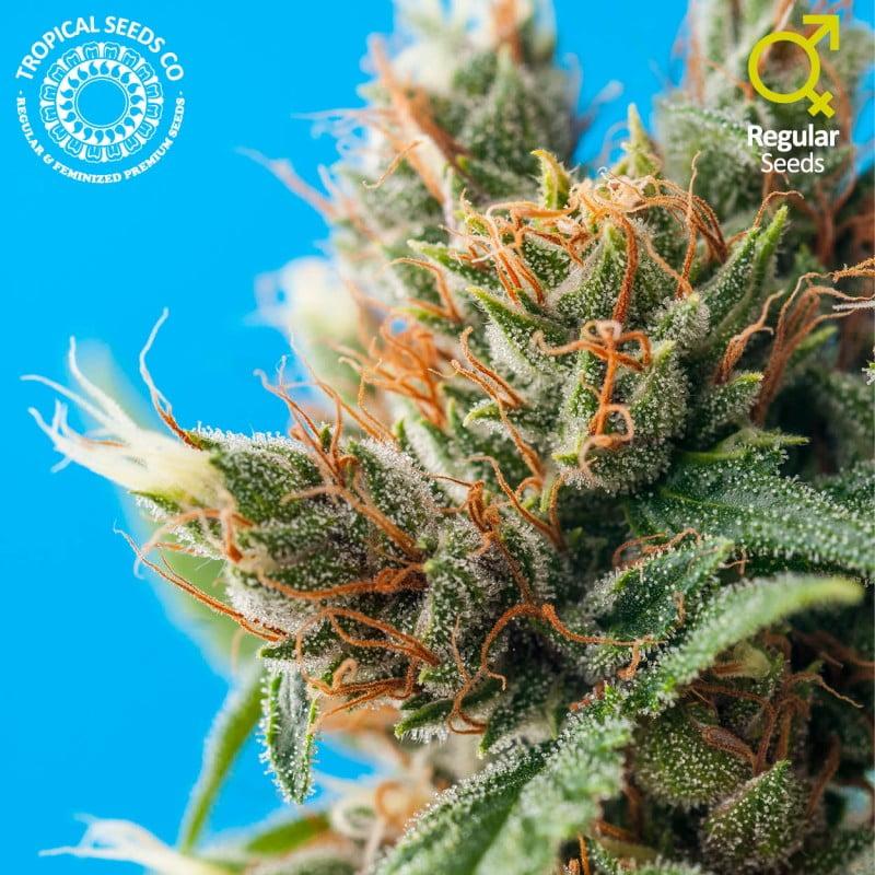 Durban Punch Regular Seeds-TROP-DP-REG-5