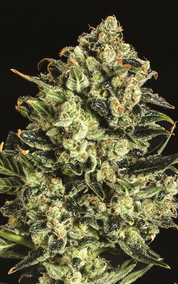 Emerald Jack x SCBDX Feminised Seeds-SCBDX-EMJ-FEM-10