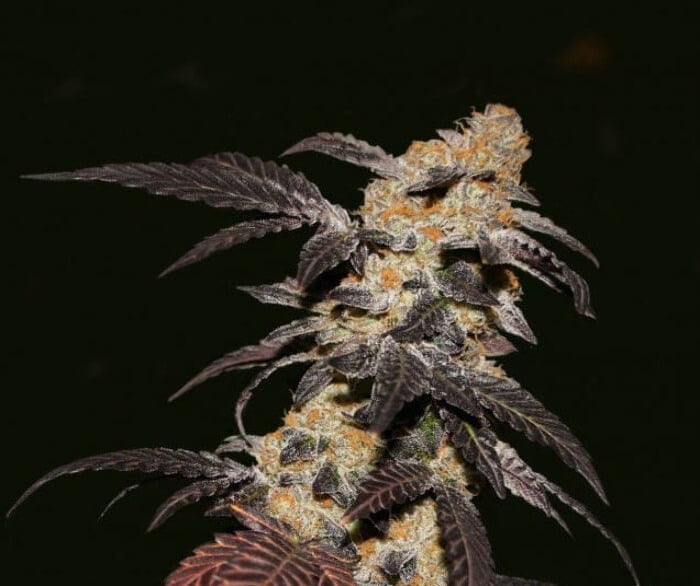 French Cookies Feminised Seeds-THS-S060-2