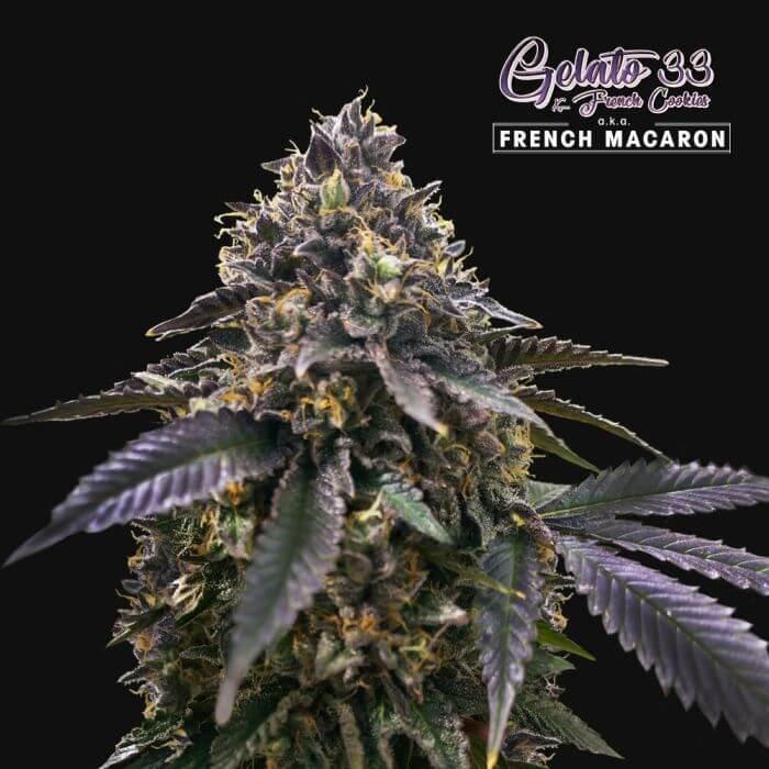 French Macaron Feminised Seeds-THS-FRMAC-FEM-2