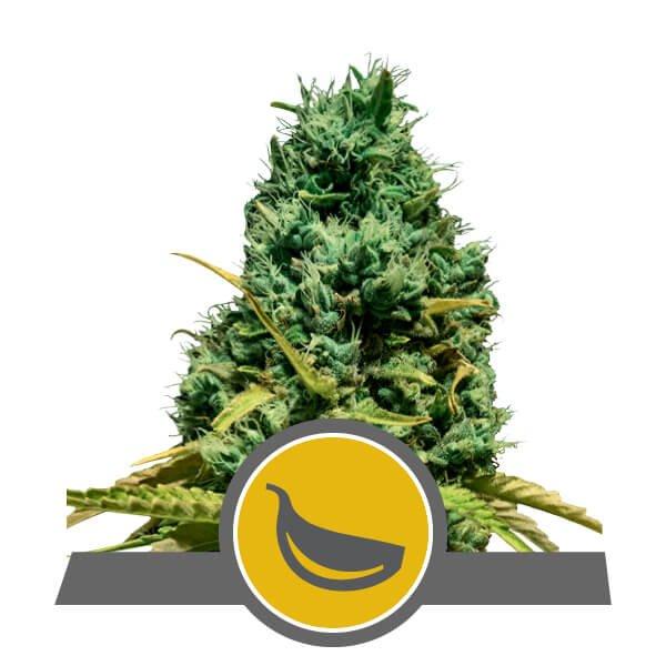 Garlic Mist Regular Seeds - 10-RQS-GM-REG-10