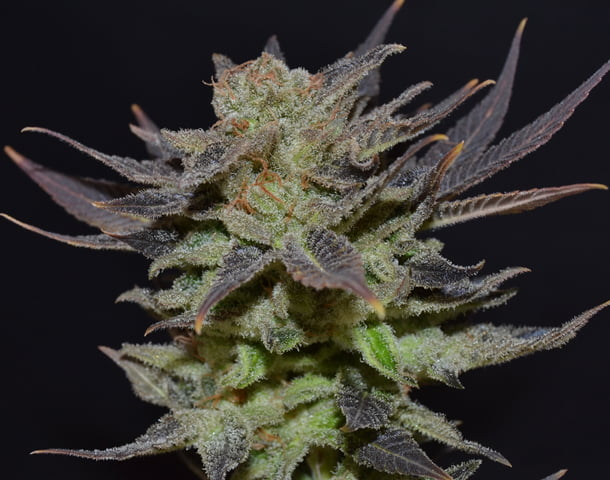 Lavender Auto Feminised Seeds-CBDS-AUTO-LAV-Fem-10