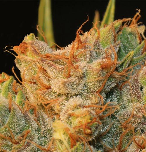 MK-Ultra Kush x Bubble Feminised Seeds-THS-S050-2