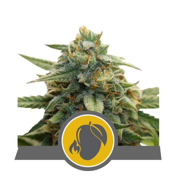 Mango Crunch Regular Seeds - 10-RQS-MC-REG-10
