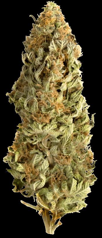 Мега КБР фемінізовані насіння-MEGA-CBD-FEM-10