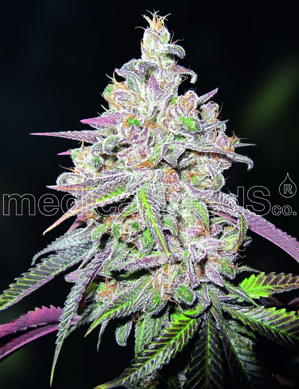 Мендоцино Шанель Куш Фемінізовані насіння-MS-MCK-Fem-10