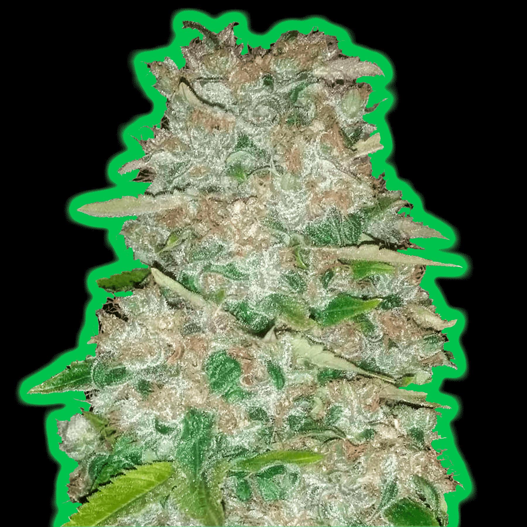Monster Gorilla Glue Феминизированные семена-MON-GG-FEM-10