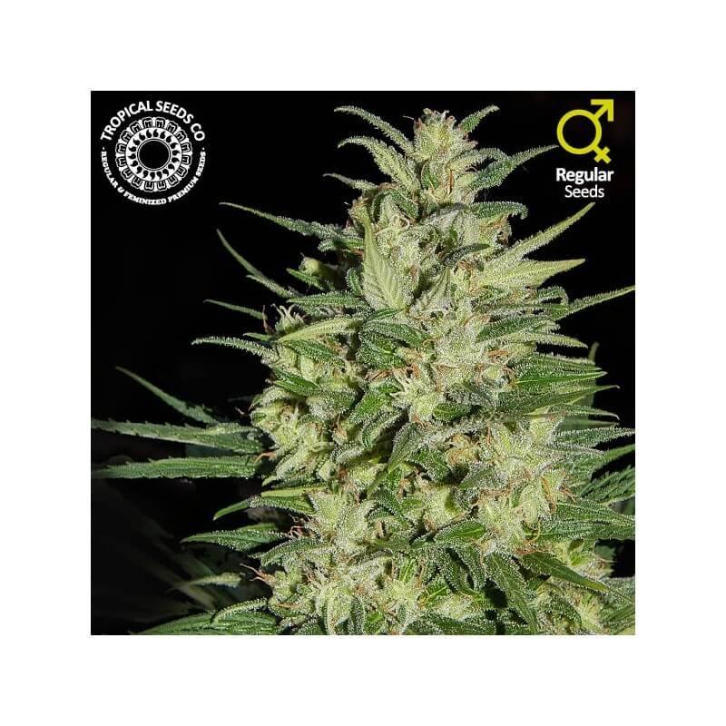 Nepal Highland Regular Seeds-TROP-NEPHI-REG-10