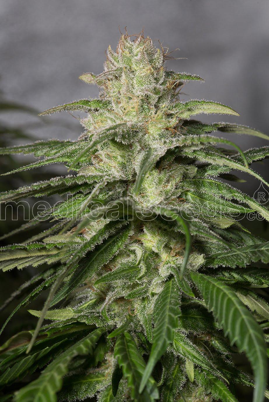 OG Kush CBD Фемінізовані насіння-MS-CBD-OGK-Fem-10