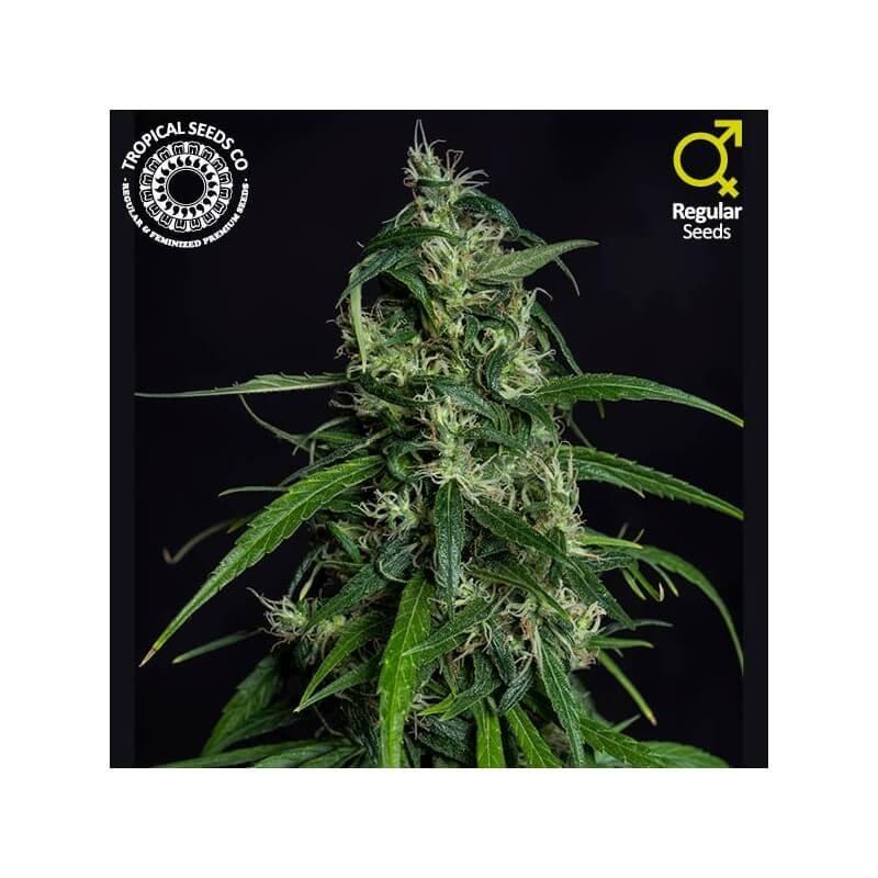 Old Afghan NLD Regular Seeds (Limited Edition)-TROP-OLDAF-REG-10
