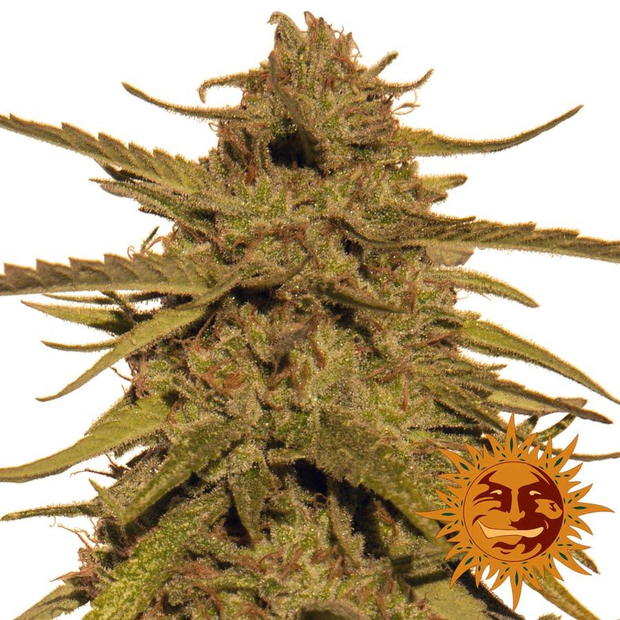 Pineapple Haze Regular Seeds - 10-BFSPH-Reg-10