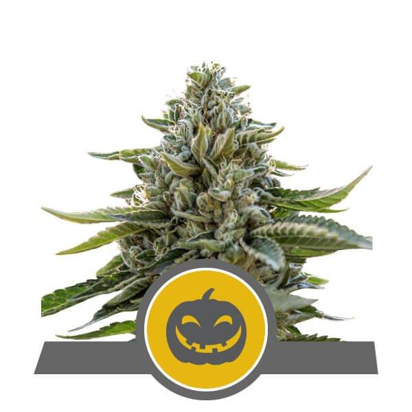 Pumpkin Kush Regular Seeds - 10-RQS-PK-REG-10
