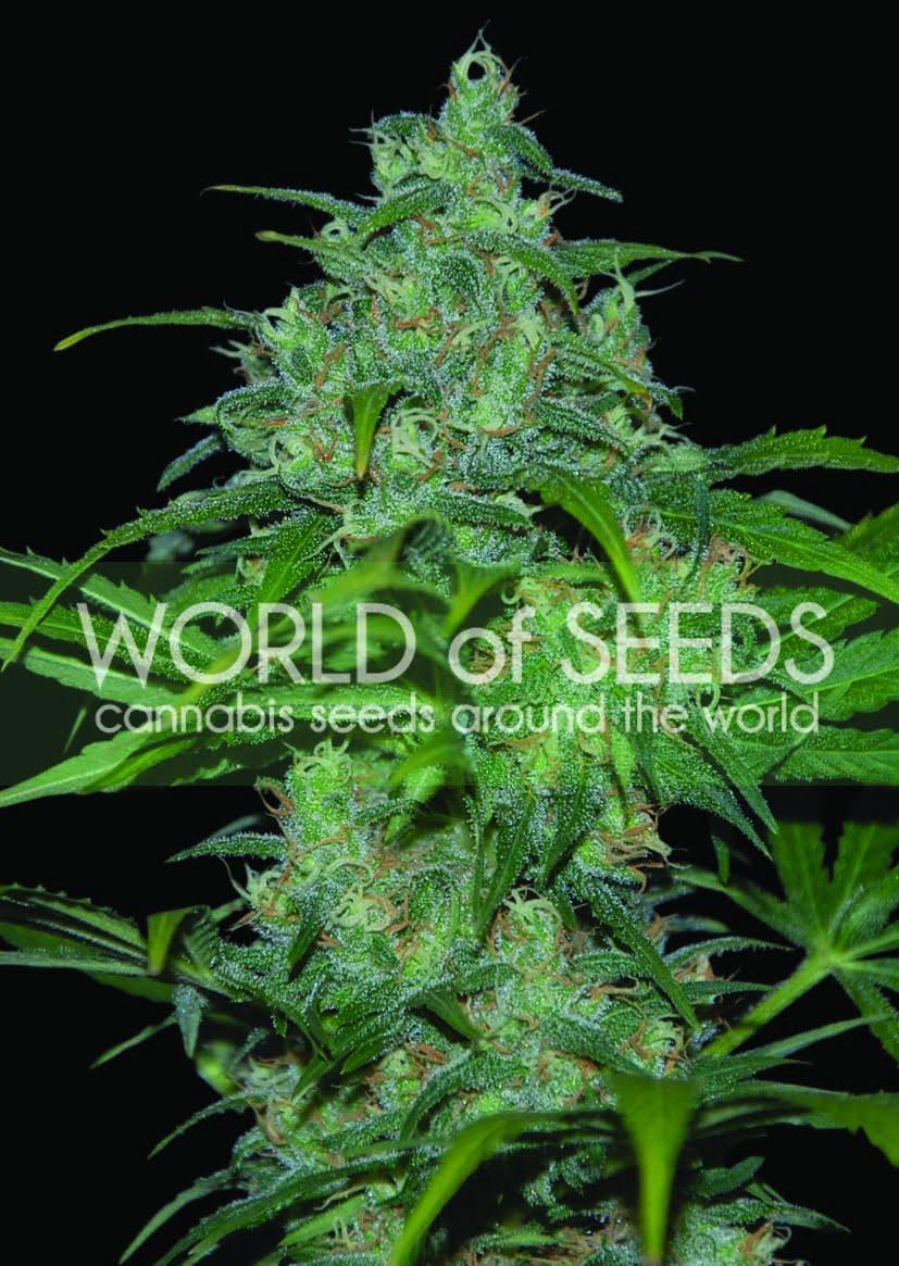 Wild Thailand Regular Seeds-WOSR-4030853