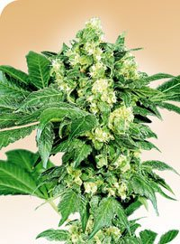 Afghani #1 Regular Seeds-SEN2307