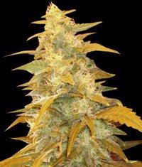 Регулярні насіння афганського куша-WOSR-4030841