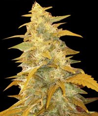 Afghan Kush Regular Seeds-WOSR-4030841