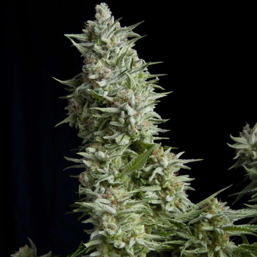 Фемінізовані насіння Alpujarrena-PYR-ALP-FEM-5
