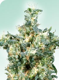 American Dream Regular Seeds-SEN2320