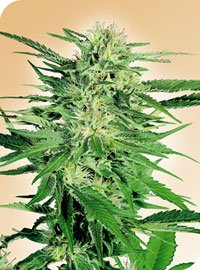 Big Bud Regular Seeds-SEN335