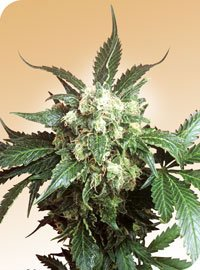 Black Domina Regular Seeds-SEN2311