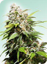 Californian Indica Regular Seeds-SEN2312