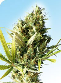 Durban Regular Seeds-SEN240
