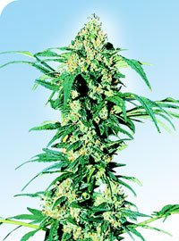 Early Girl Regular Seeds-SEN239