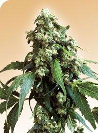 Jack Flash Regular Seeds-SEN2314
