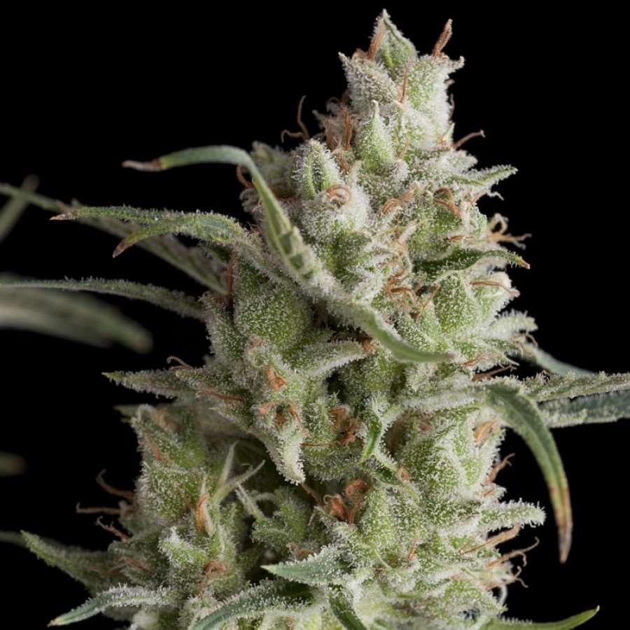 Super OG Kush Feminised Seeds-PYR-SOG-FEM-5