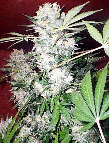 White Russian Regular Seeds-SRSWR