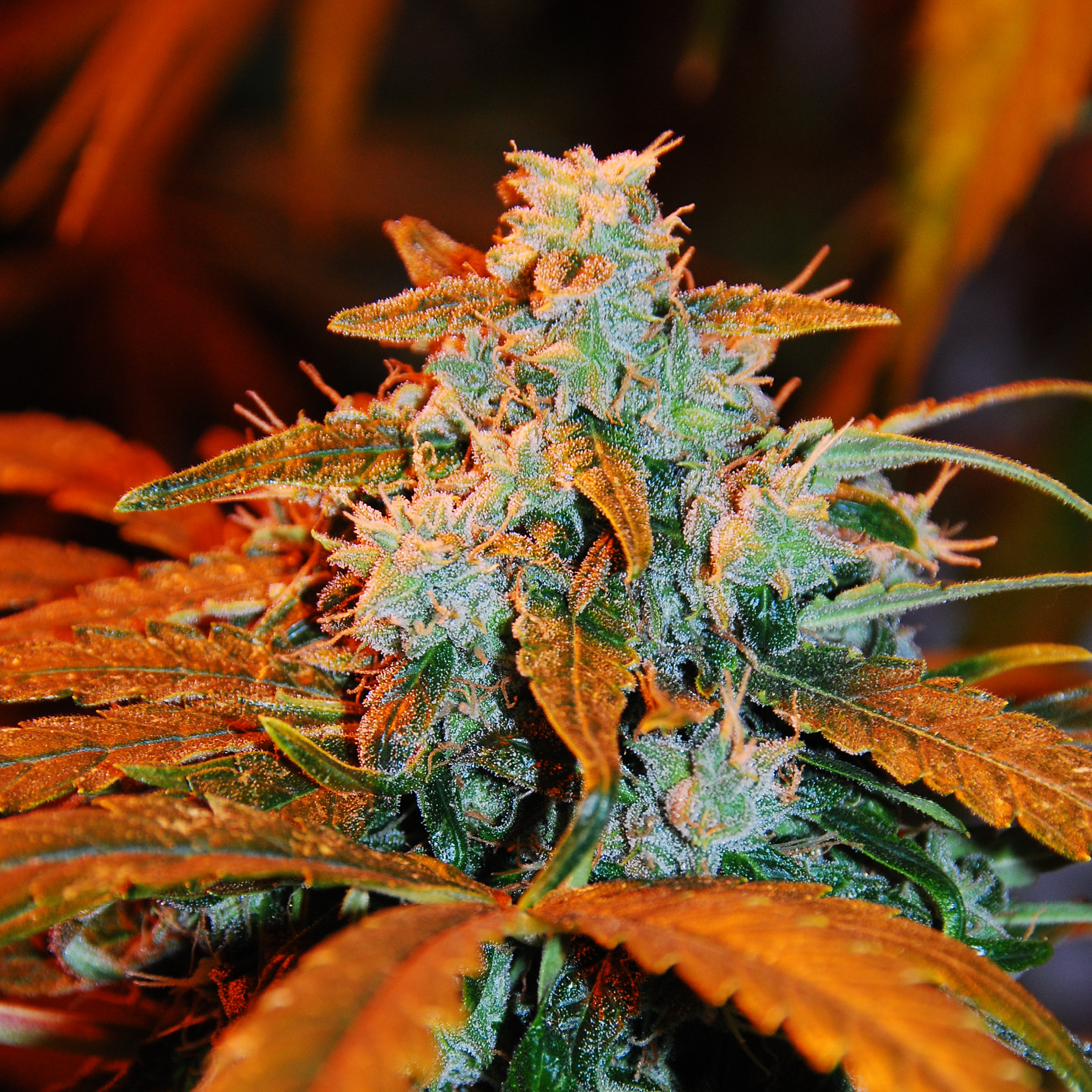 auto berry g13 labs seeds